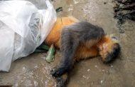 পড়ে থাকা হনুমানটি মধুপুরের জাতীয় উদ্যানে অবমুক্ত
