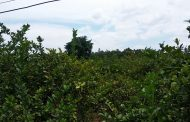 সখীপুরে জমি লিজ নিয়ে বিপাকে কৃষক, বাগানেই নষ্ট হচ্ছে লাখ টাকার লেবু